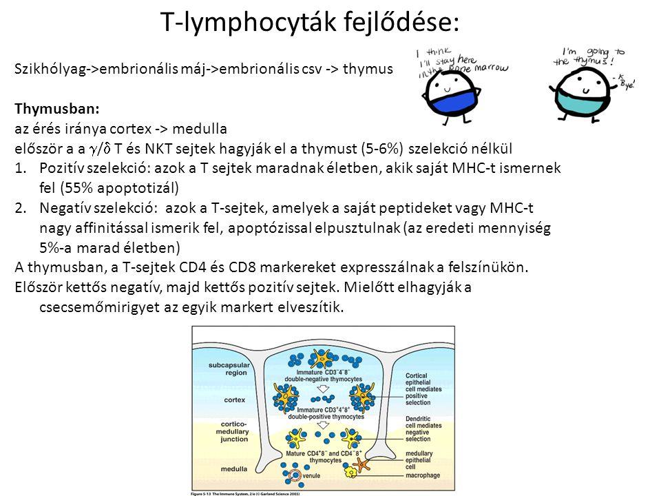 T-lymphocyták fejlődése: Szikhólyag->embrionális máj->embrionális csv -> thymus Thymusban: az érés iránya cortex -> medulla először a a  /  T és NKT