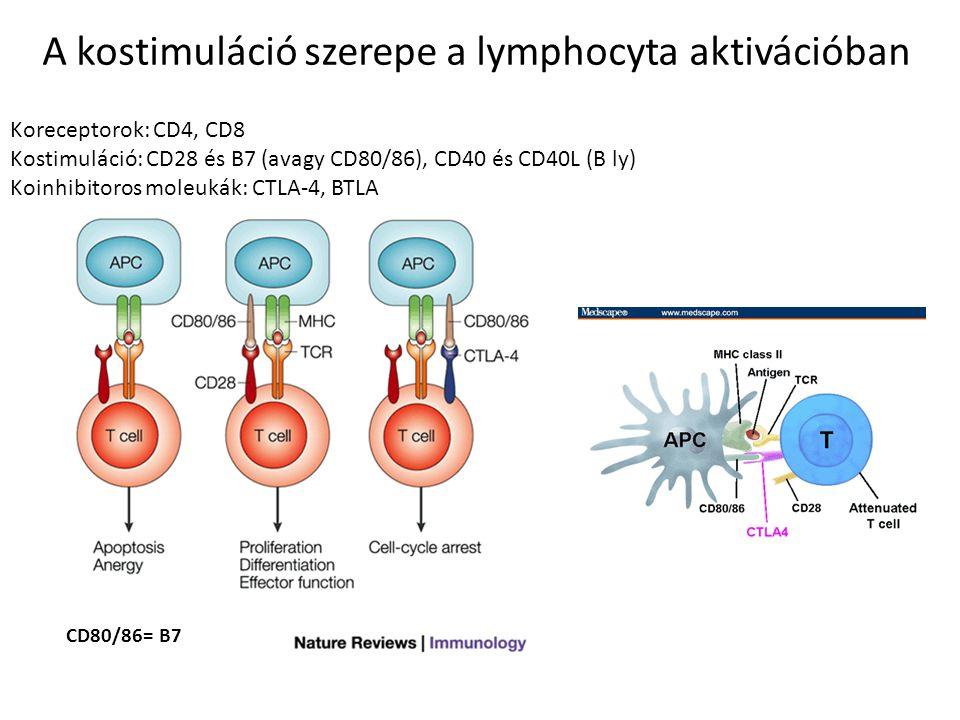 A kostimuláció szerepe a lymphocyta aktivációban Koreceptorok: CD4, CD8 Kostimuláció: CD28 és B7 (avagy CD80/86), CD40 és CD40L (B ly) Koinhibitoros m