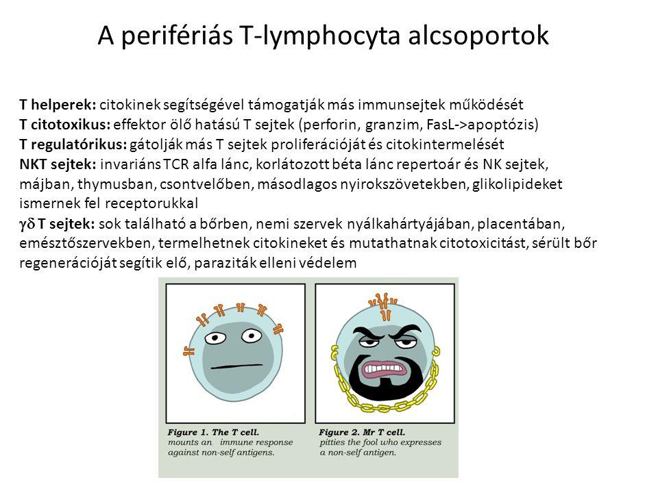 T helperek: citokinek segítségével támogatják más immunsejtek működését T citotoxikus: effektor ölő hatású T sejtek (perforin, granzim, FasL->apoptózi