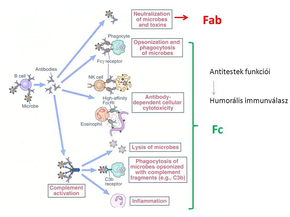 Antitestek funkciói Humorális immunválasz Fab Fc