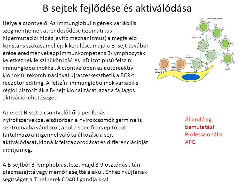 B sejtek fejlődése és aktiválódása Helye a csontvelő. Az immunglobulin gének variábilis szegmentjeinek átrendeződése (szomatikus hipermutáció: hibás j