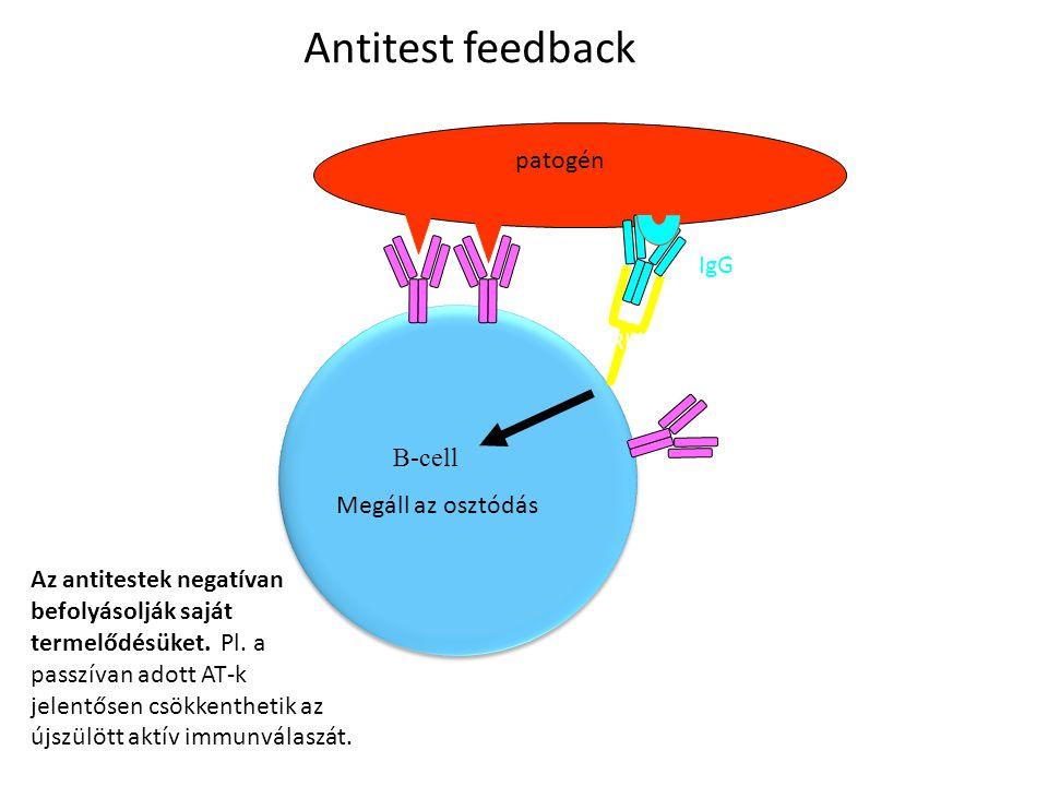 B-cell patogén Fc  RIIb (ITIM motívummal) IgG Megáll az osztódás Antitest feedback Antitest-feedback Az antitestek negatívan befolyásolják saját term