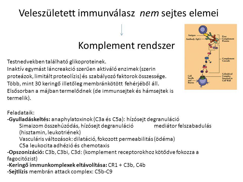 Veleszületett immunválasz nem sejtes elemei Komplement rendszer Testnedvekben található glikoproteinek. Inaktív egymást láncreakció szerűen aktiváló e