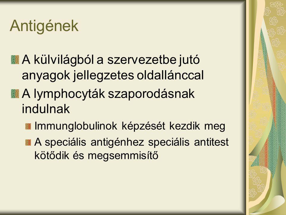 Antigének A külvilágból a szervezetbe jutó anyagok jellegzetes oldallánccal A lymphocyták szaporodásnak indulnak Immunglobulinok képzését kezdik meg A speciális antigénhez speciális antitest kötődik és megsemmisítő
