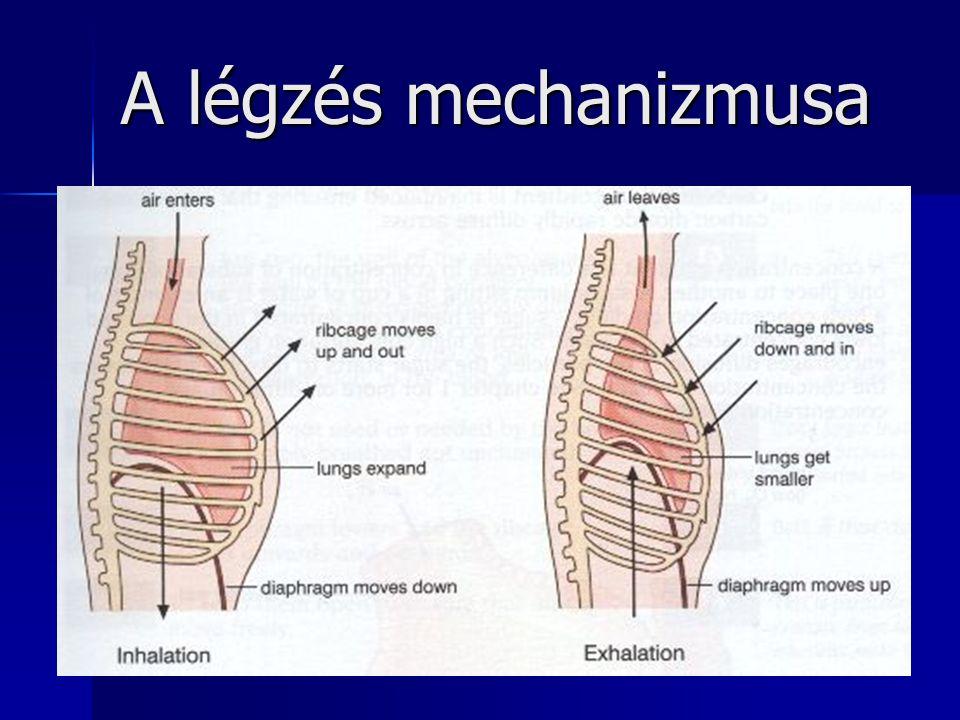 25 A légzés mechanizmusa