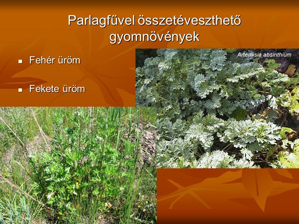 Parlagfűvel összetéveszthető gyomnövények Fehér üröm Fehér üröm Fekete üröm Fekete üröm
