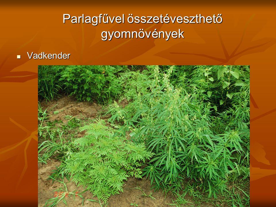 Parlagfűvel összetéveszthető gyomnövények Vadkender Vadkender
