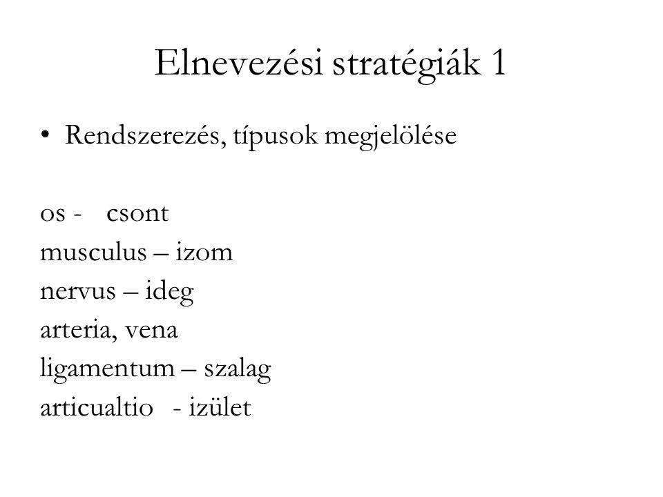Elnevezési stratégiák 1 Rendszerezés, típusok megjelölése os -csont musculus – izom nervus – ideg arteria, vena ligamentum – szalag articualtio- izüle