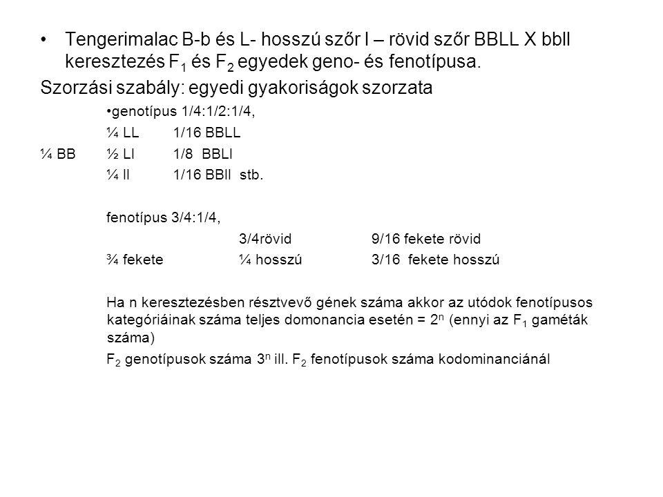 Tengerimalac B-b és L- hosszú szőr l – rövid szőr BBLL X bbll keresztezés F 1 és F 2 egyedek geno- és fenotípusa. Szorzási szabály: egyedi gyakoriságo