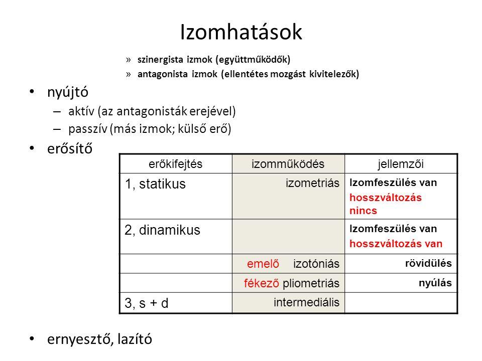 Izomhatások » szinergista izmok (együttműködők) » antagonista izmok (ellentétes mozgást kivitelezők) nyújtó – aktív (az antagonisták erejével) – passz
