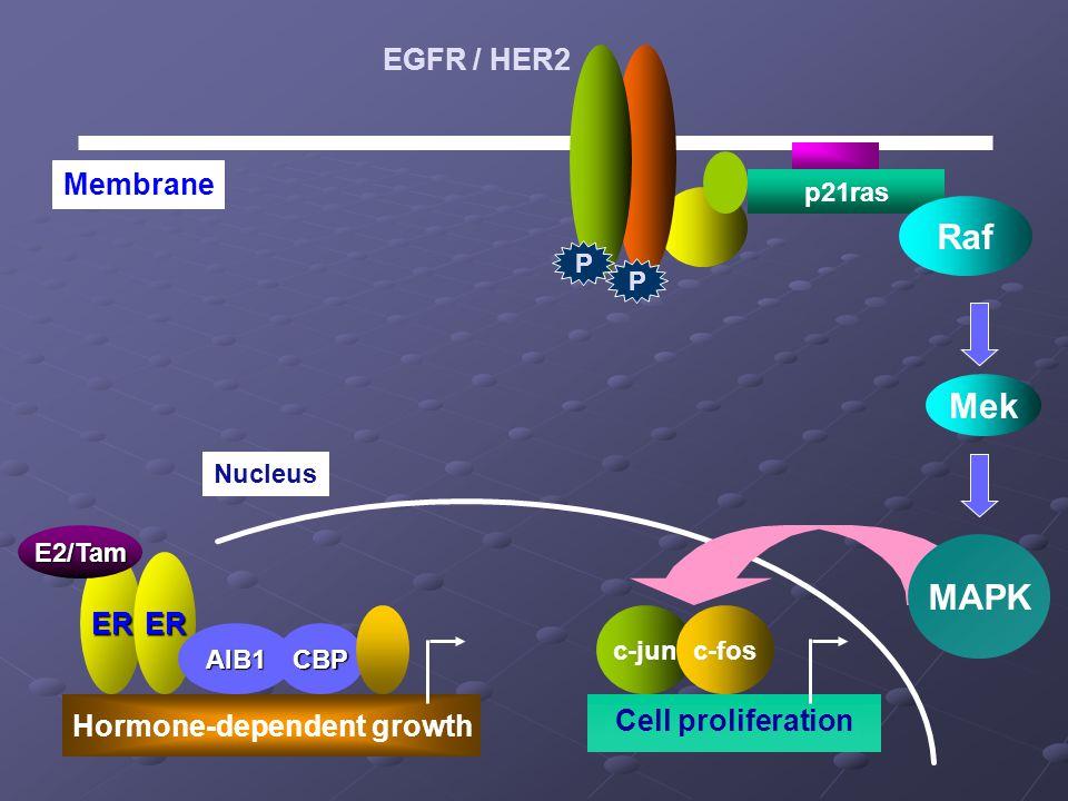 p21ras Raf Nucleus Cell proliferation Mek ER Hormone-dependent growth ER AIB1CBP Membrane E2/Tam c-junc-fos MAPK P P EGFR / HER2