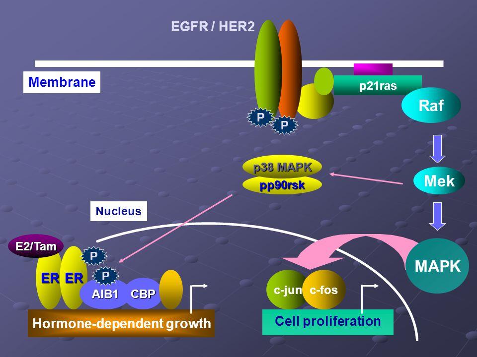 p21ras Raf Nucleus Cell proliferation Mek ER Hormone-dependent growth ER AIB1CBP Membrane E2/Tam EGFR / HER2 c-junc-fos MAPK pp90rsk p38 MAPK P P P P