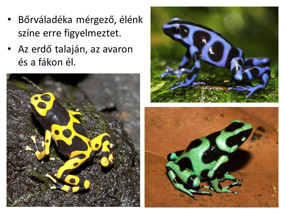 Bőrváladéka mérgező, élénk színe erre figyelmeztet. Az erdő talaján, az avaron és a fákon él.