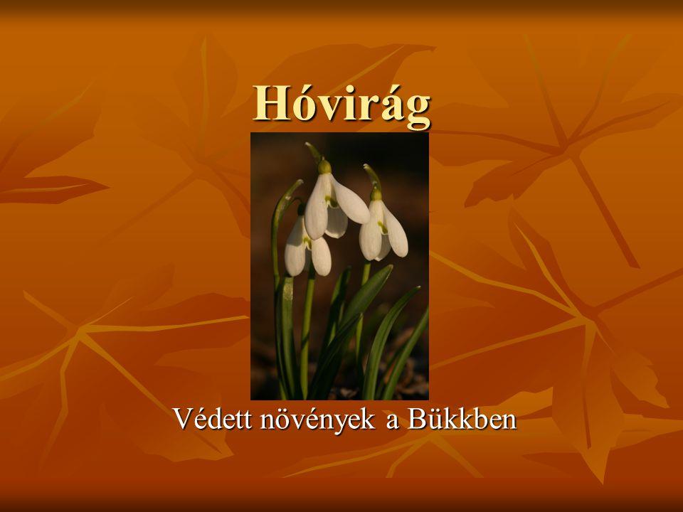 A hóvirág (Galanthus nivalis) az Amarilliszfélék (Amaryllidaceae) családjába tartozó növényünk, mely gyakran még hófoltok között virágzik, így a tavasz egyik hírnökeként tartják számon.