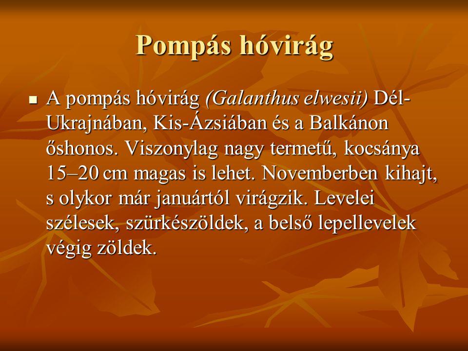 Pompás hóvirág A pompás hóvirág (Galanthus elwesii) Dél- Ukrajnában, Kis-Ázsiában és a Balkánon őshonos. Viszonylag nagy termetű, kocsánya 15–20 cm ma