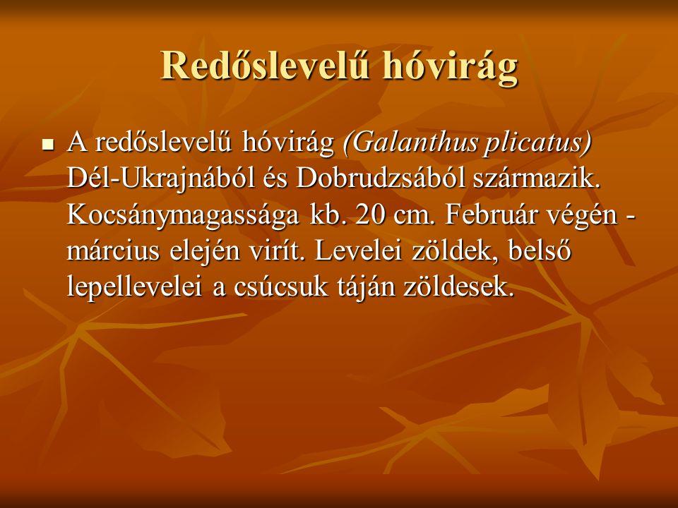 Redőslevelű hóvirág A redőslevelű hóvirág (Galanthus plicatus) Dél-Ukrajnából és Dobrudzsából származik. Kocsánymagassága kb. 20 cm. Február végén - m