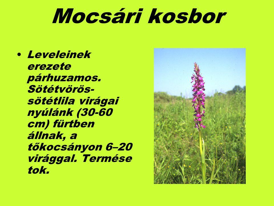 Mocsári kosbor Leveleinek erezete párhuzamos. Sötétvörös- sötétlila virágai nyúlánk (30-60 cm) fürtben állnak, a tőkocsányon 6–20 virággal. Termése to