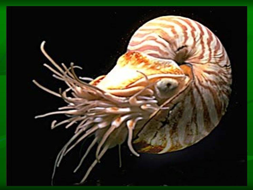 A csigavonal A szárazföldi és tengeri csigák mészházainak felépítése csigavonalat követ.