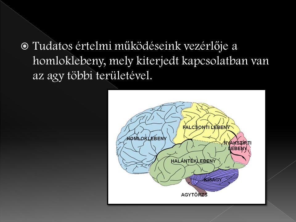  Tudatos értelmi m ű ködéseink vezérl ő je a homloklebeny, mely kiterjedt kapcsolatban van az agy többi területével.