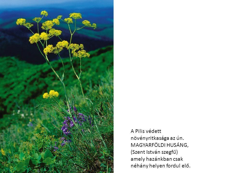 A Pilis védett növényritkasága az ún. MAGYARFÖLDI HUSÁNG, (Szent István szegfű) amely hazánkban csak néhány helyen fordul elő.