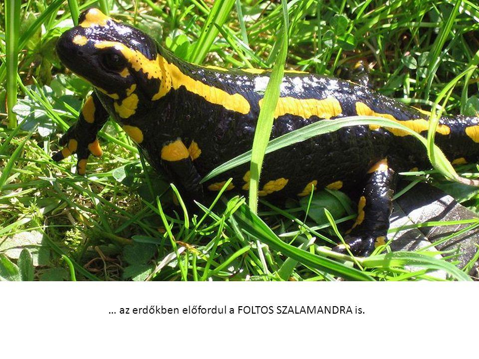 … az erdőkben előfordul a FOLTOS SZALAMANDRA is.