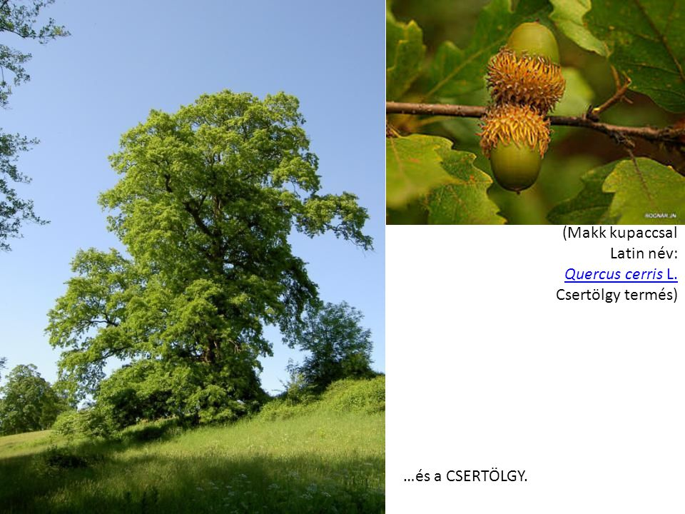 (Makk kupaccsal Latin név: Quercus cerris L. Csertölgy termés) Quercus cerris L. …és a CSERTÖLGY.