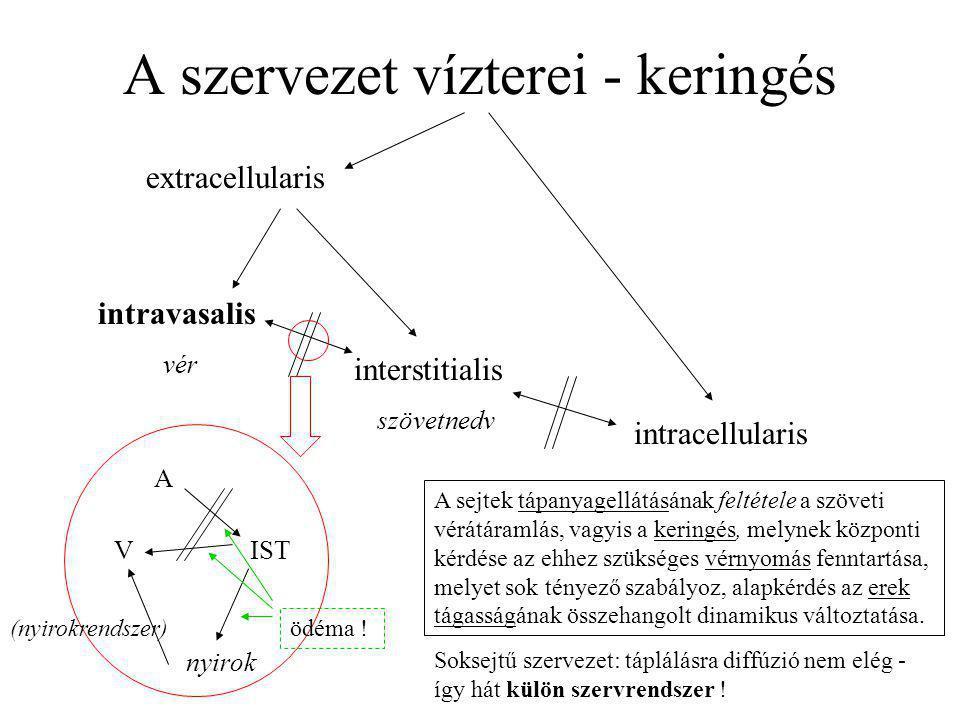 A szervezet vízterei - keringés extracellularis intracellularis intravasalis vér interstitialis szövetnedv A V nyirok IST (nyirokrendszer) A sejtek tá
