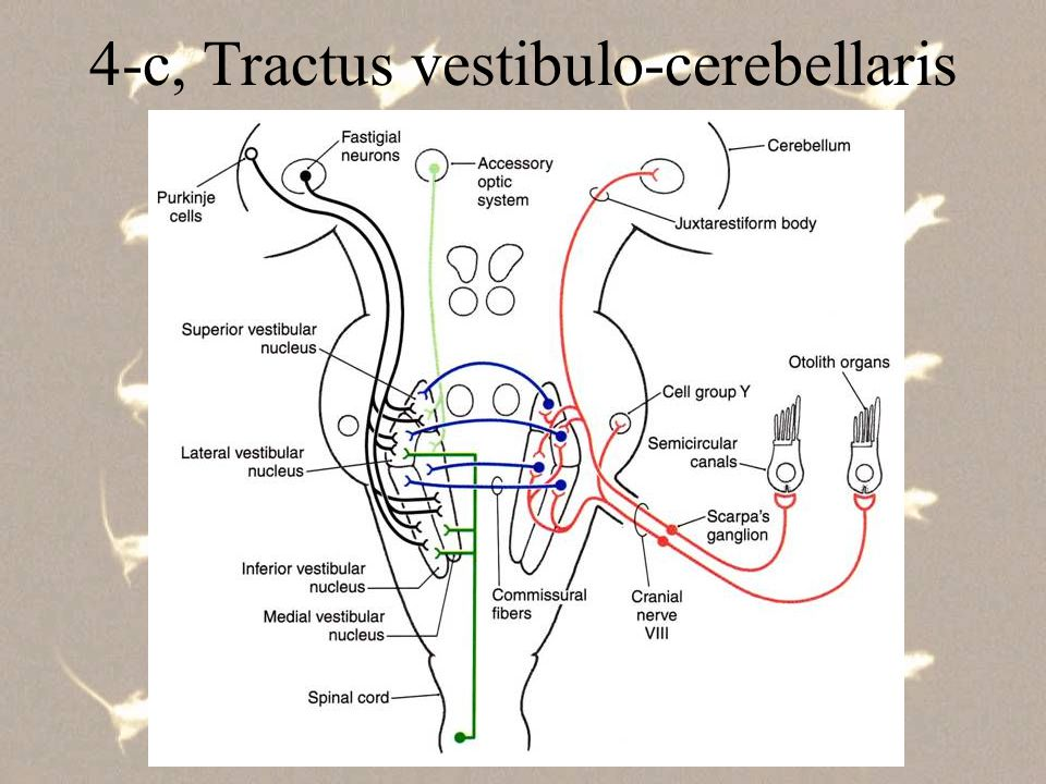 5, Egyéb, a testtartást és mozgás- dinamikát tükröző szenzoros csatornák a, a szűkebb értelemben vett proprioceptív rendszer izomorsó, ínorsó, ízületi receptor, stb...