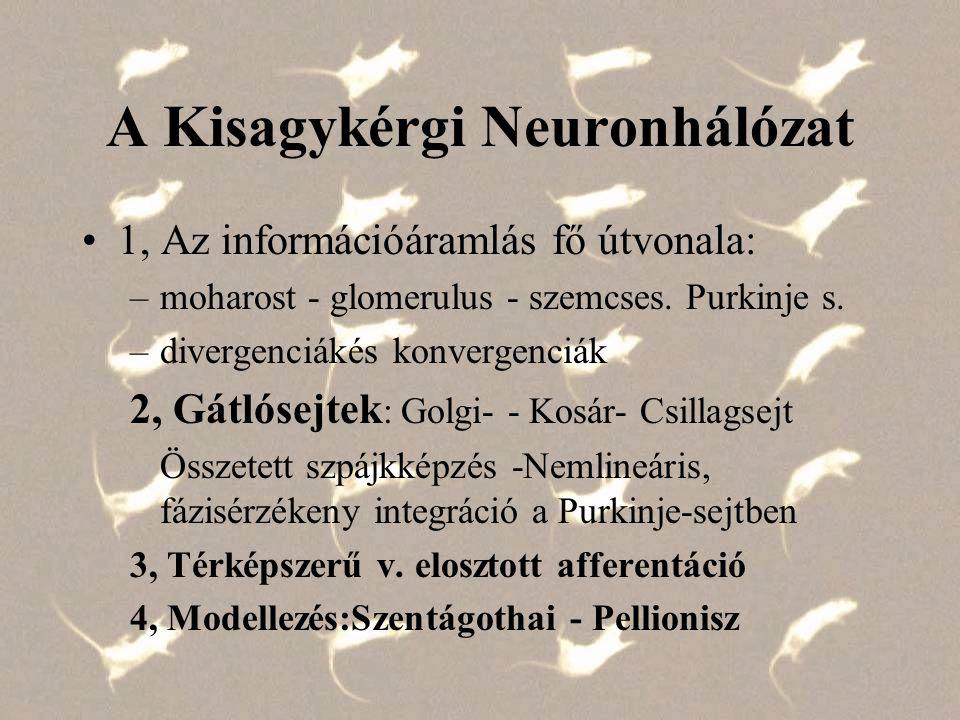 A Kisagykérgi Neuronhálózat 1, Az információáramlás fő útvonala: –moharost - glomerulus - szemcses. Purkinje s. –divergenciákés konvergenciák 2, Gátló