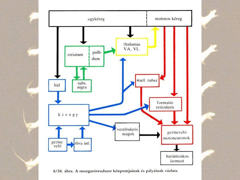 Extrapiramidális kórképek Hibás mozgás - Ataxia - apraxia Hypertoniás hypokinesis és/vagy Hypotoniás hyperkinesis - tremor nyug./intenciós - hemiballizmus - Chorea - athetozis - tikk Parkinson kór - Nigro-Striat - Dopamin -