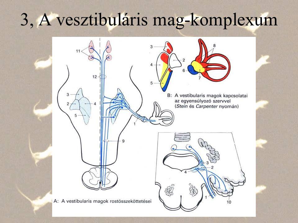 4, A vesztibuláris központból induló centrális pályák a, Fasciculus Longitudinalis Medialis - FLM felszálló: kompenzatórikus szemmozgások, leszálló rész: fejstabilizáció (Die Rolle..) b, Tr.