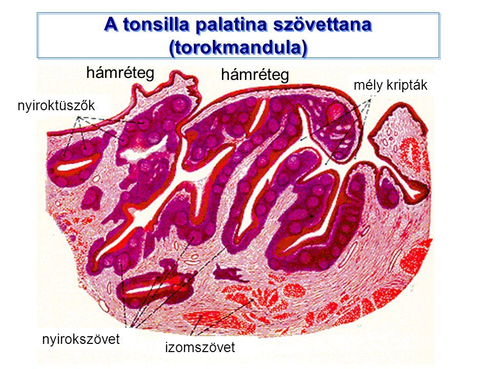 A tonsilla palatina szövettana (torokmandula) nyiroktüszők mély kripták nyirokszövet izomszövet hámréteg