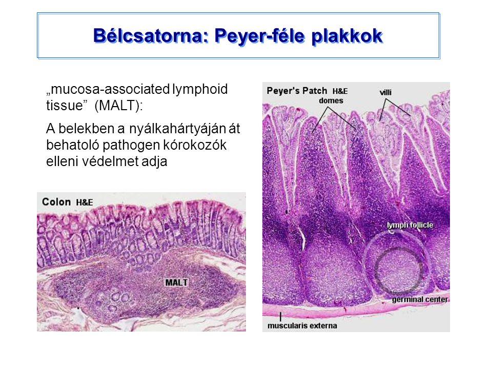 """Bélcsatorna: Peyer-féle plakkok """"mucosa-associated lymphoid tissue"""" (MALT): A belekben a nyálkahártyáján át behatoló pathogen kórokozók elleni védelme"""