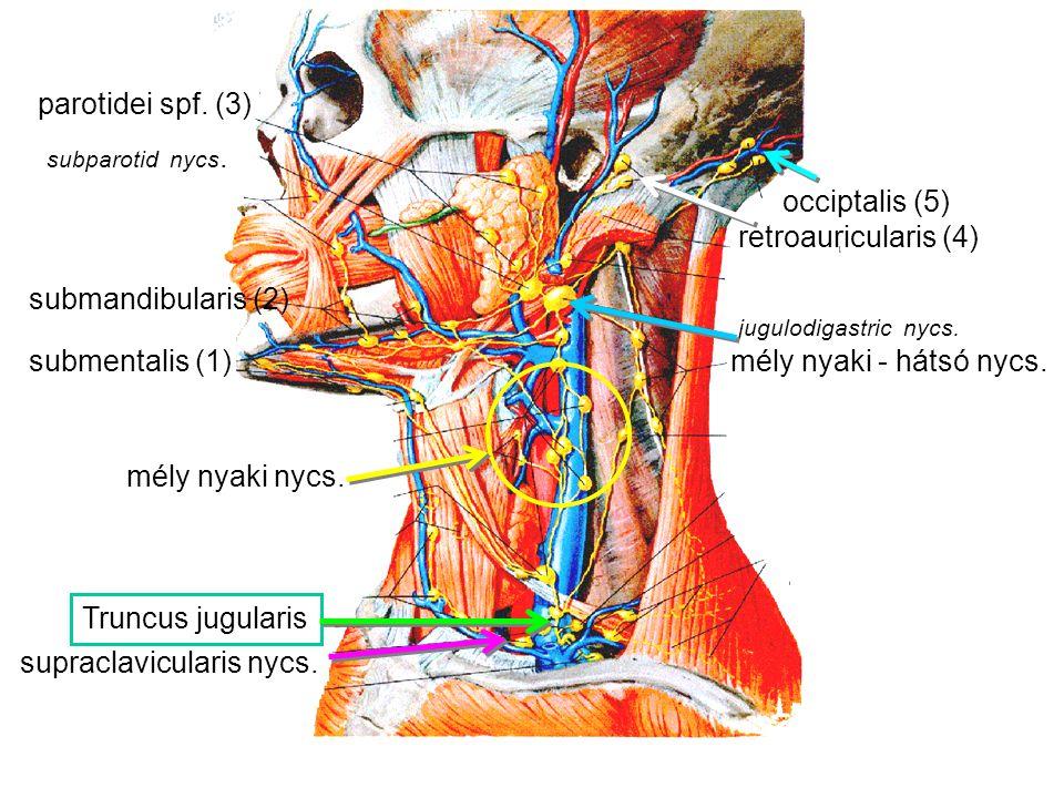 mély nyaki nycs. jugulodigastric nycs. mély nyaki - hátsó nycs. Truncus jugularis supraclavicularis nycs. submentalis (1) submandibularis (2) parotide