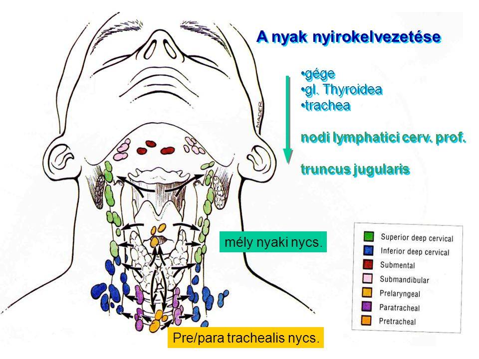 A nyak nyirokelvezetése gége gl. Thyroidea trachea nodi lymphatici cerv. prof. truncus jugularis A nyak nyirokelvezetése gége gl. Thyroidea trachea no