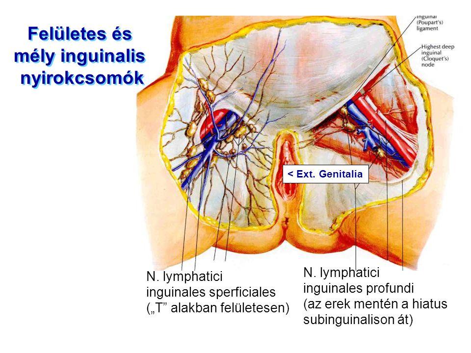 """Felületes és mély inguinalis nyirokcsomók Felületes és mély inguinalis nyirokcsomók N. lymphatici inguinales sperficiales (""""T"""" alakban felületesen) N."""