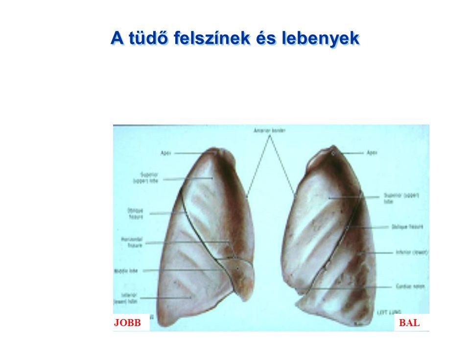 A tüdő felszínek és lebenyek BALJOBB
