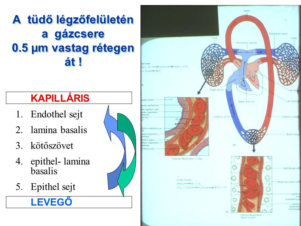 A tüdő légzőfelületén a gázcsere 0.5 µm vastag rétegen át ! KAPILLÁRIS 1.Endothel sejt 2.lamina basalis 3.kötőszövet 4.epithel- lamina basalis 5.Epith