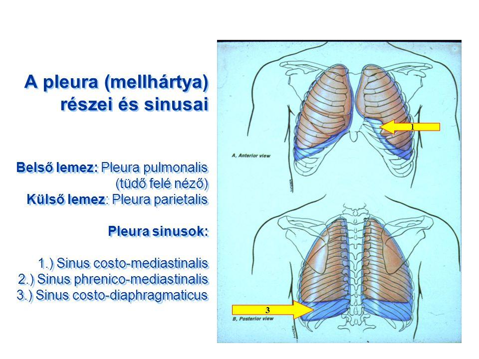 A pleura (mellhártya) részei és sinusai Belső lemez: Pleura pulmonalis (tüdő felé néző) Külső lemez: Pleura parietalis Pleura sinusok: 1.) Sinus costo