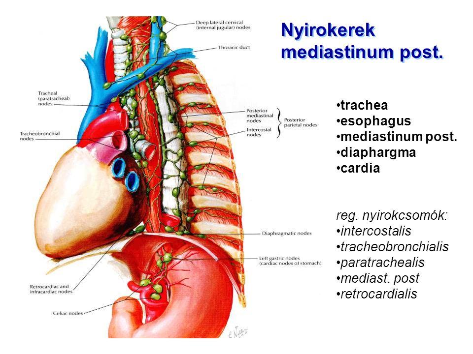Nyirokerek mediastinum post. Nyirokerek mediastinum post. trachea esophagus mediastinum post. diaphargma cardia reg. nyirokcsomók: intercostalis trach