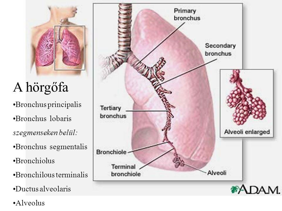 A hörgőfa Bronchus principalis Bronchus lobaris szegmenseken belül: Bronchus segmentalis Bronchiolus Bronchilous terminalis Ductus alveolaris Alveolus