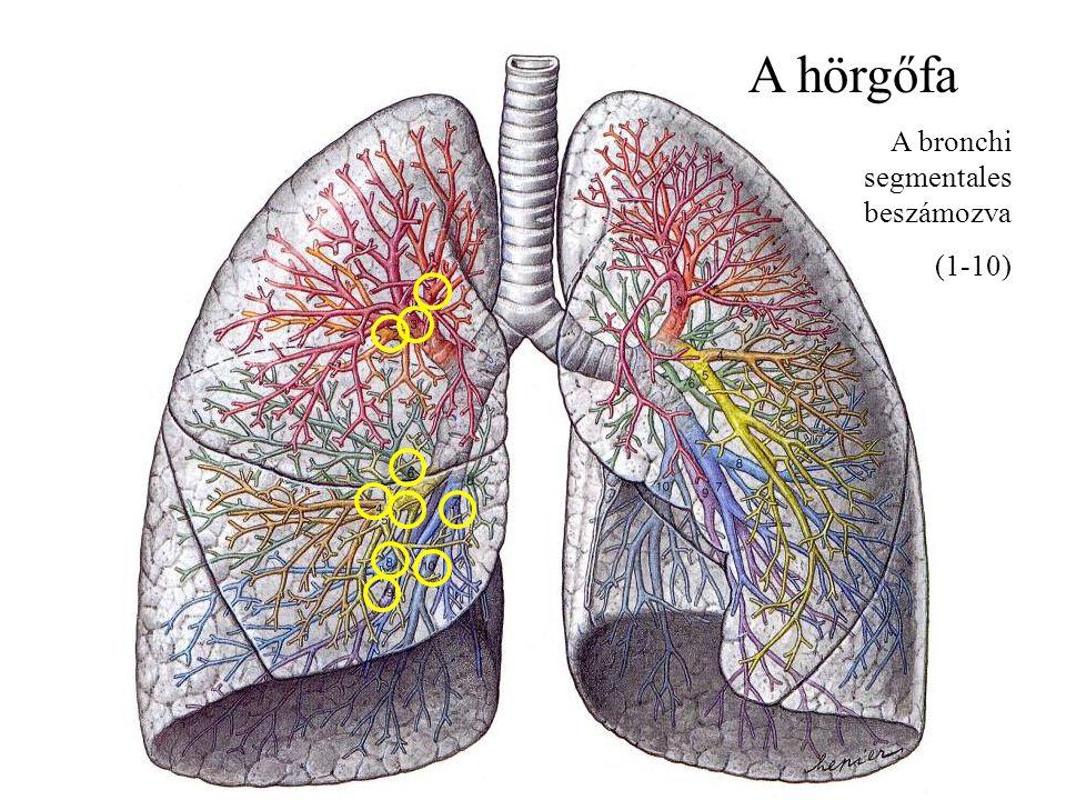 A hörgőfa A bronchi segmentales beszámozva (1-10)