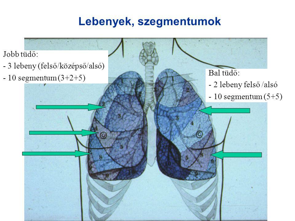Lebenyek, szegmentumok Jobb tüdő: - 3 lebeny (felső/középső/alsó) - 10 segmentum (3+2+5) Bal tüdő: - 2 lebeny felső /alsó - 10 segmentum (5+5)