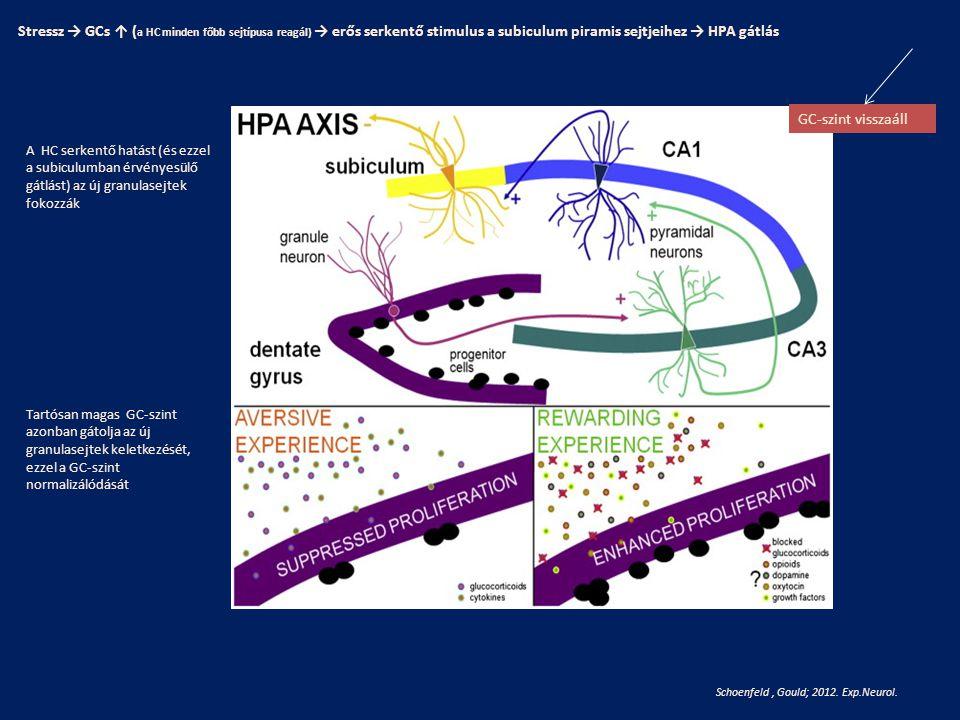 Schoenfeld, Gould; 2012. Exp.Neurol. Stressz → GCs ↑ ( a HC minden főbb sejtípusa reagál) → erős serkentő stimulus a subiculum piramis sejtjeihez → HP