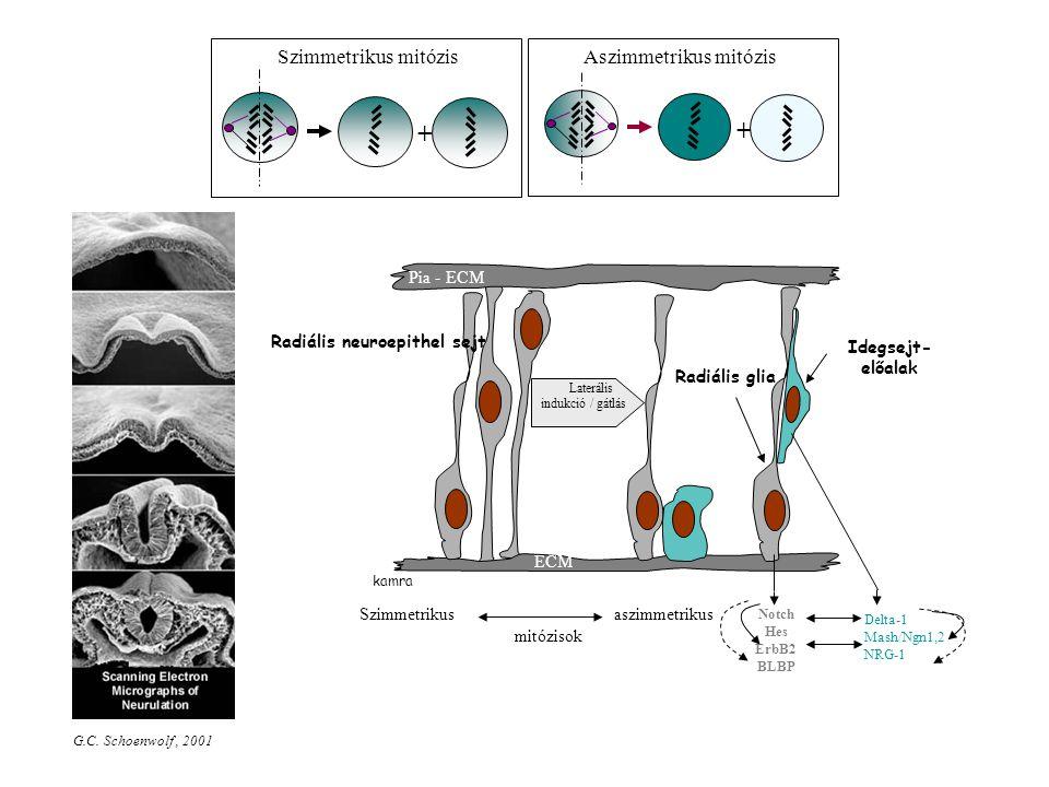 Szimmetrikus mitózis + Aszimmetrikus mitózis + kamra Pia - ECM Radiális glia Radiális neuroepithel sejt ECM Idegsejt- előalak Laterális indukció / gát