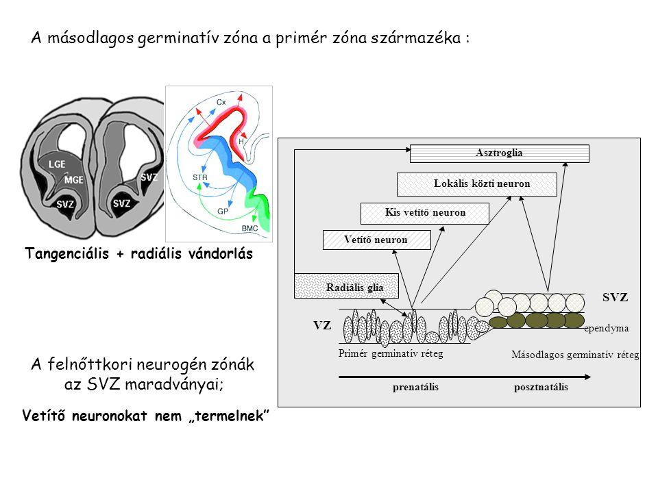 Tangenciális + radiális vándorlás Primér germinatív réteg Másodlagos germinatív réteg prenatálisposztnatális Vetítő neuron Kis vetítő neuron Lokális k