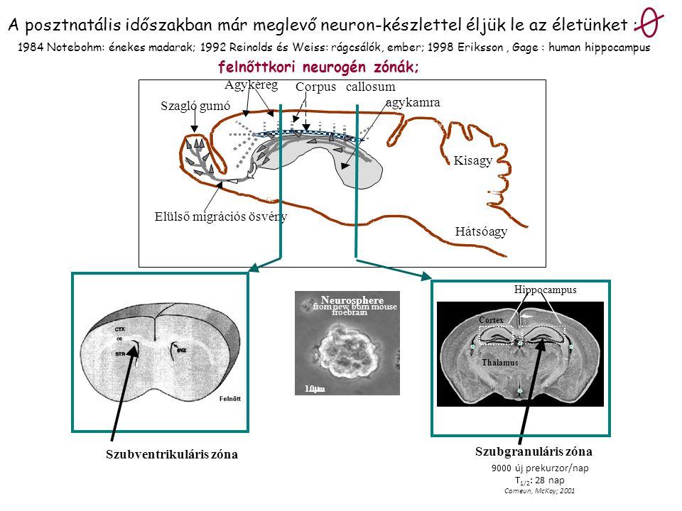 10  m Neurosphere from new born mouse froebrain Agykéreg Szagló gumó agykamra Kisagy Hátsóagy Corpuscallosum Elülső migrációs ösvény a Szubventrikulá
