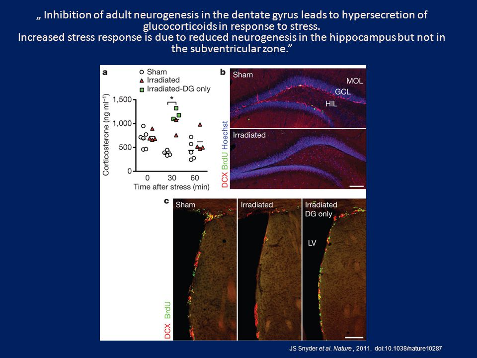 "JS Snyder et al. Nature, 2011. doi:10.1038/nature10287 "" Inhibition of adult neurogenesis in the dentate gyrus leads to hypersecretion of glucocortico"