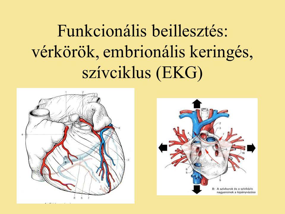 Funkcionális beillesztés: vérkörök, embrionális keringés, szívciklus (EKG)
