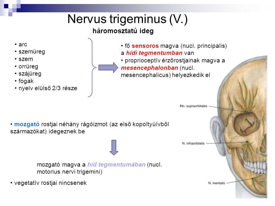 arc szemüreg szem orrüreg szájüreg fogak nyelv elülső 2/3 része fő sensoros magva (nucl. principalis) a hídi tegmentumban van proprioceptív érzőrostja